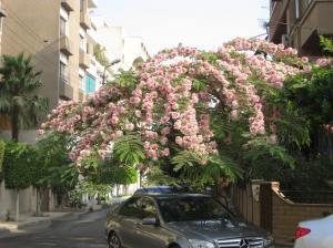 Beautiful flowering shagara (tree) in Cairo.